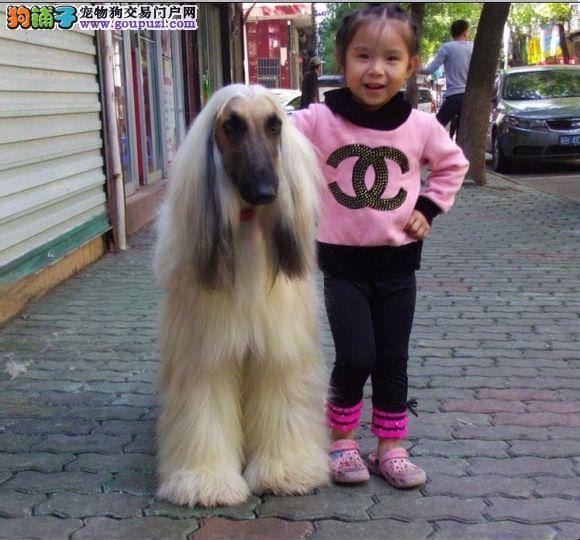 权威机构认证犬舍 专业培育阿富汗猎犬幼犬一分价钱一分货2