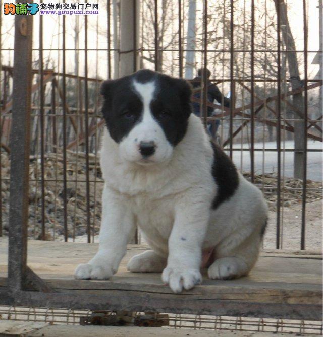 自贡市出售中亚牧羊犬 包健康纯种 血统优良 协议质保