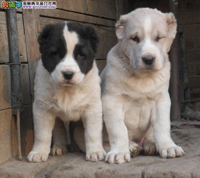 热销多只优秀的纯种中亚牧羊犬幼犬签订协议包细小犬瘟热