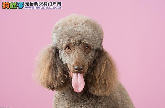 繁衍与孕育 泰迪犬的繁殖方式是怎样的
