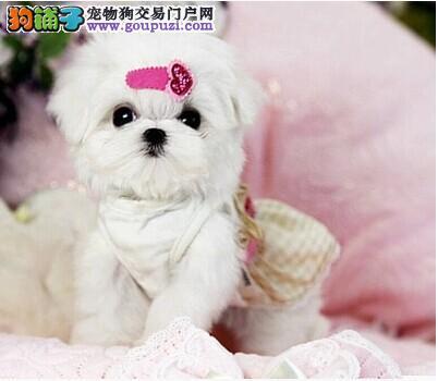 北京犬业CKU认证国际马尔济斯犬——绝对信誉.