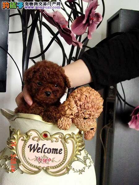出售纯种日系袖珍犬 茶杯体口袋犬 超可爱袖珍宝宝出售1