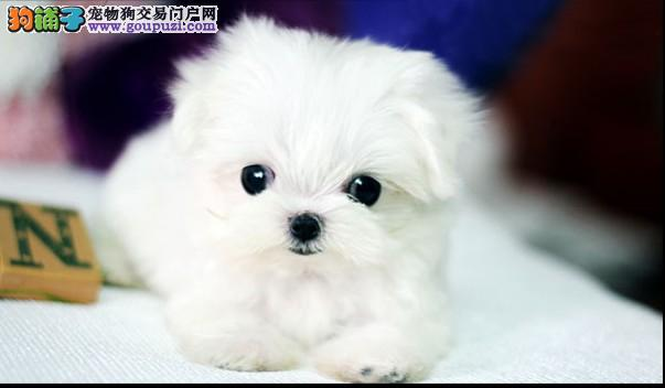 苏州哪里有买茶杯狗狗的 苏州纯种的茶杯犬多少钱