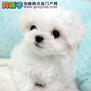 无锡哪里有卖茶杯犬的 纯种茶杯犬价格 多少钱一只