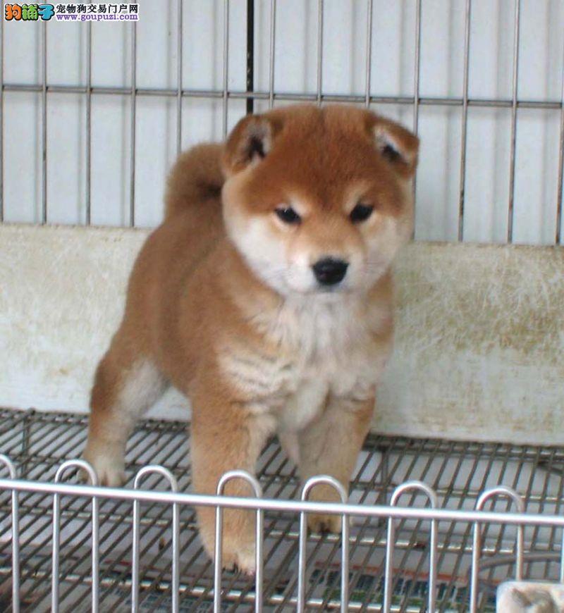 柴犬CKU认证犬舍自繁自销赛级品质保障