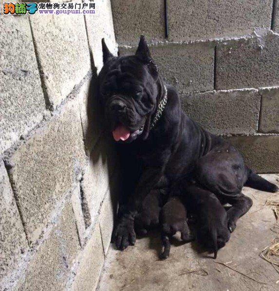 多种颜色的赛级卡斯罗犬幼犬寻找主人全国质保全国送货