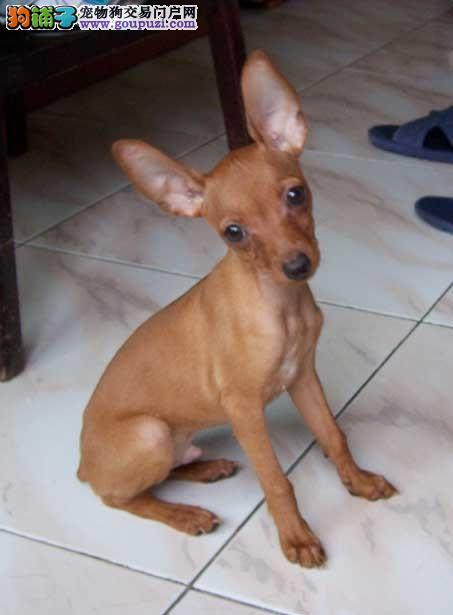 小鹿犬 纯种小鹿幼犬,铁包金 红色 公母都有