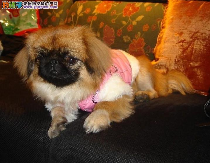 纯种犬繁殖中心售高品质京巴幼犬签订合同售后好