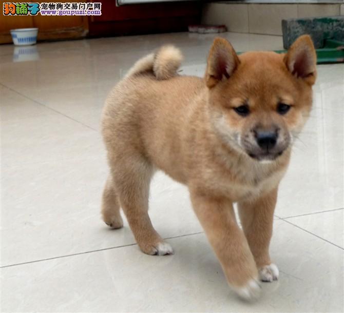 CKU认证犬舍出售高品质柴犬赛级品质保障