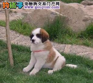 贵阳出售极品圣伯纳幼犬完美品相终身售后协议