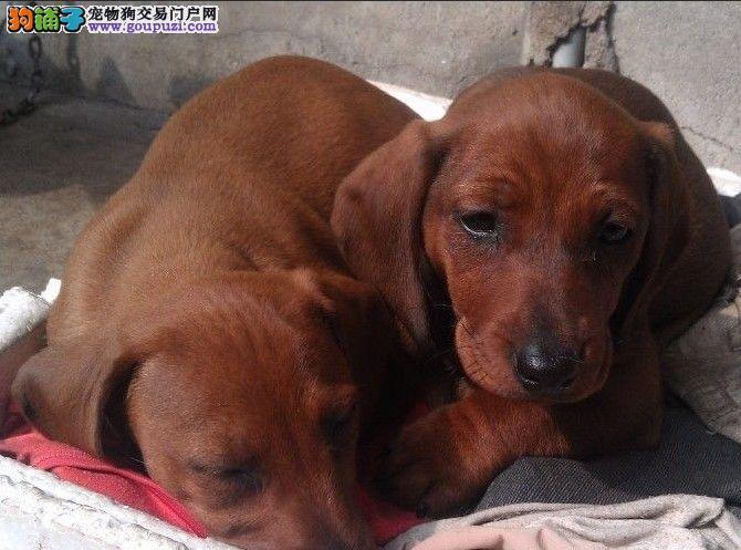西安市出售纯种腊肠犬 签协议 保健康纯种 可上门看狗