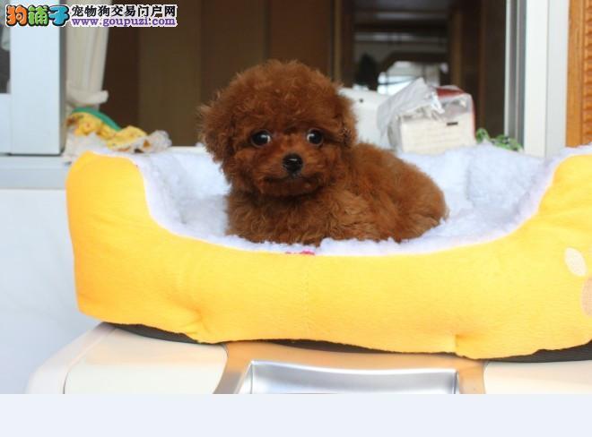 太原出售茶杯犬颜色齐全公母都有品质血统售后均有保障3
