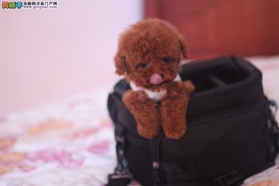 自家繁殖茶杯犬出售公母都有支持全国空运发货1