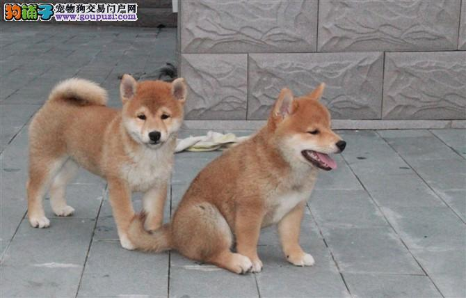 北京出售纯种柴犬日本引进原种 犬舍专业繁殖