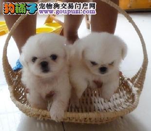 纯种京巴犬出售专业繁殖 疫苗做齐