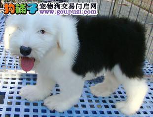 福州大型犬舍直销纯种性格温顺古代牧羊犬可签协议