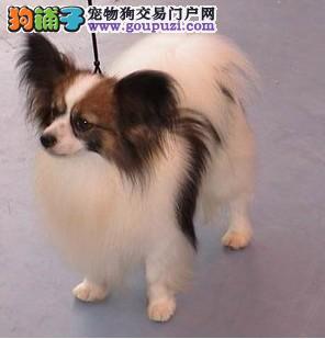蝴蝶犬 蝴蝶犬多少钱 蝴蝶犬哪里买 蝴蝶犬舍1