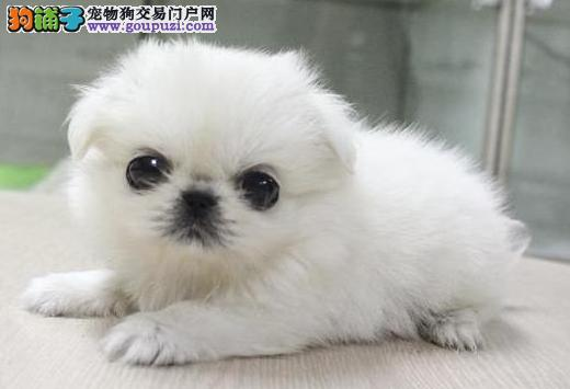 上海出售机灵.聪慧.高贵温顺.可爱的京巴.欢迎上门挑选