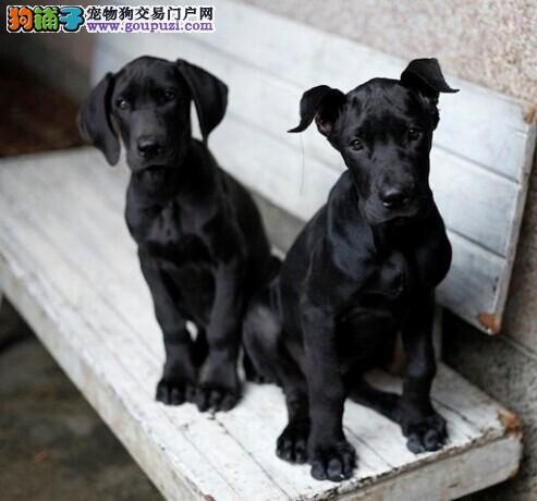 自家狗场繁殖直销大丹犬幼犬价格低廉品质高