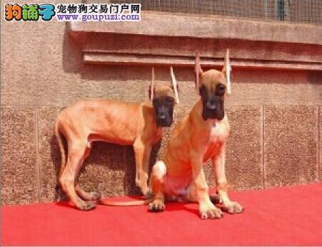 专业正规犬舍热卖优秀的大丹犬CKU认证绝对信誉保障