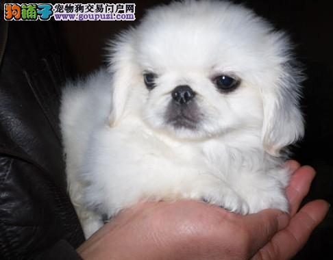 广 州哪里有卖纯种京巴狗 狗场优惠出售 欢迎点击进入