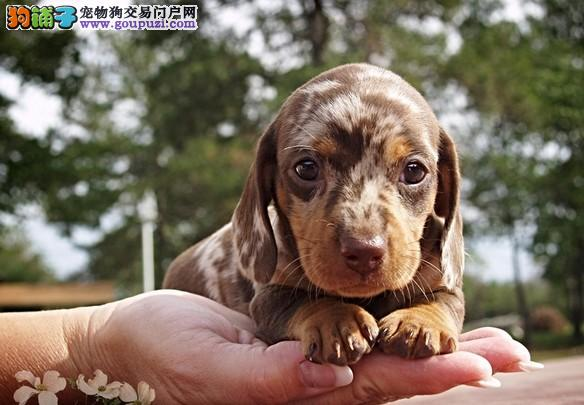 实体店出售精品腊肠犬保健康国外引进假一赔百