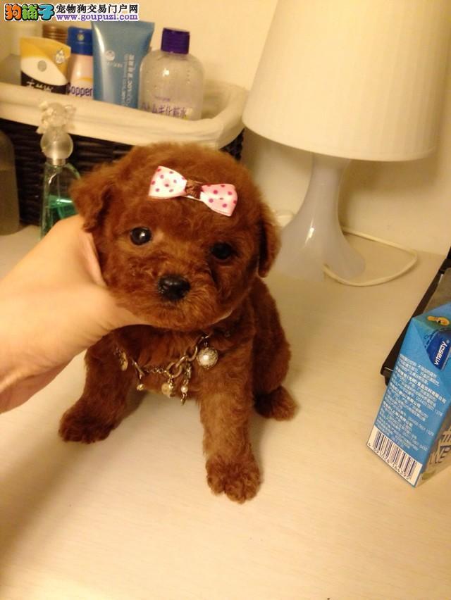 南京哪里出售小型茶杯犬 茶杯吉娃娃幼犬 公母全有
