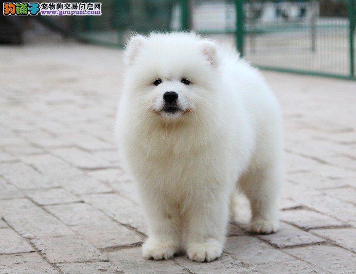 黔南州狗场直销萨摩耶幼犬多只选择狗场包售后可签协议