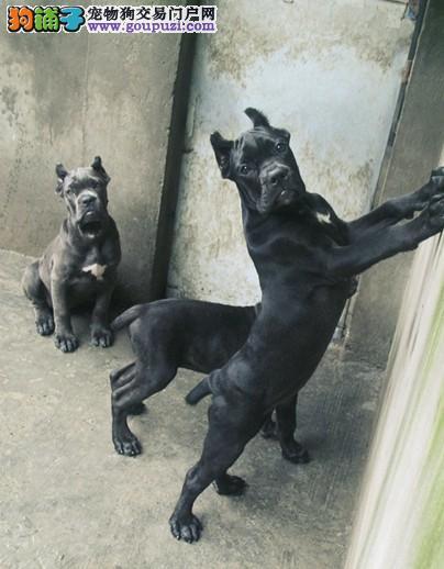 专业的卡斯罗犬犬舍终身保健康假一赔万签活体协议