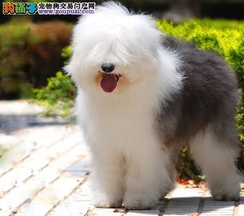 楚雄纯种英国古代牧羊犬 白头通背双蓝眼体态完美
