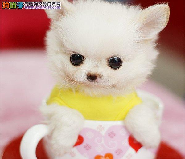 重庆韩国引进的超小的玩具泰迪犬茶杯泰迪宝宝火热出售