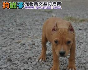 实物拍摄的比特犬找新主人签协议上门选
