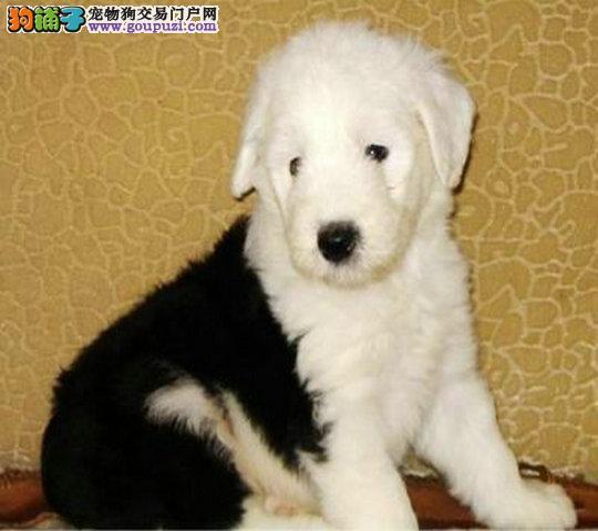 出售纯种古代牧羊犬 可办理血统证书 全国空运到家