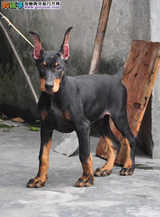 签订活体协议——德系杜宾幼犬——正规狗场 实物拍摄