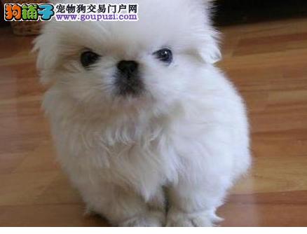 实体店低价促销赛级京巴幼犬终身售后协议