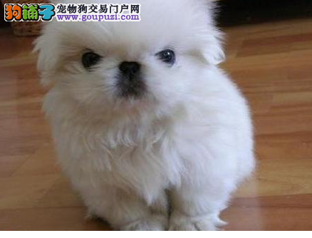 CKU犬舍认证出售高品质天津京巴带血统证书签活体协议