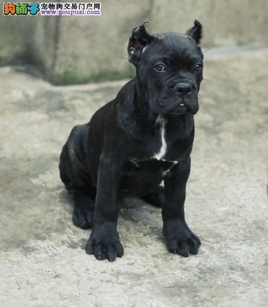嘉兴哪里有卖卡斯罗犬 嘉兴卡斯罗犬一只多少钱