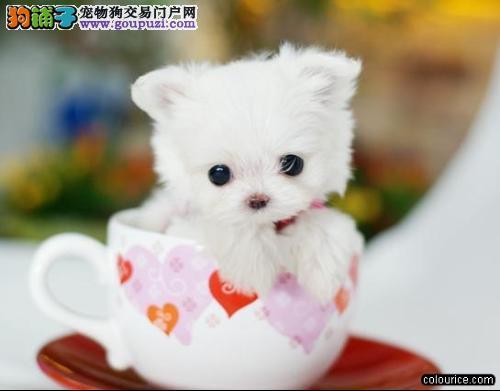 CKU犬舍认证出售纯种茶杯犬喜欢它的快来1