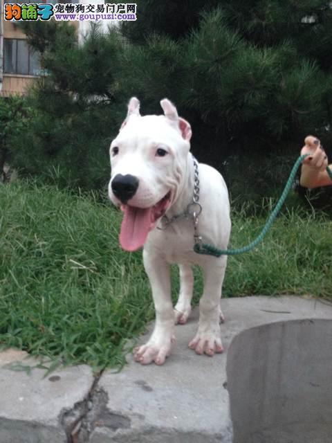 新疆乌鲁木齐哪里有纯种杜高犬 欢迎来我狗场