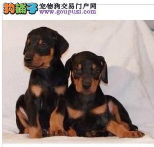 顶级杜高犬 杜宾 赛级血统 优质品种 特价出售1
