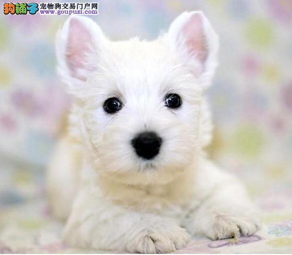 热销西高地幼犬,CKU认证品质,三年质保协议