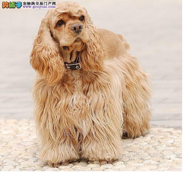 家养极品可卡出售 可见父母颜色齐全微信咨询看狗狗视频2