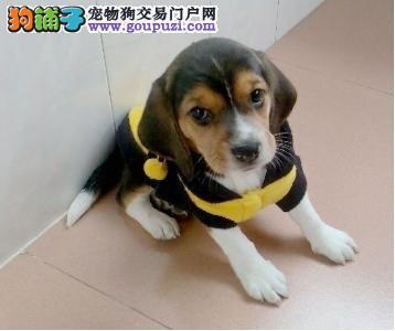 本犬舍直销比格 三年质保CKU血统认证