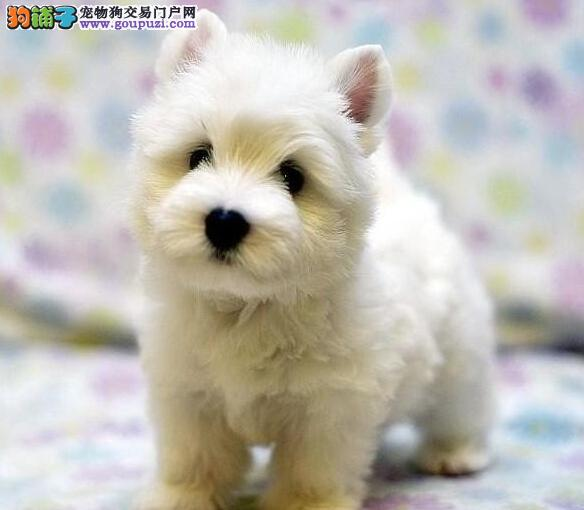 权威机构认证犬舍 专业培育西高地幼犬保证品质完美售后