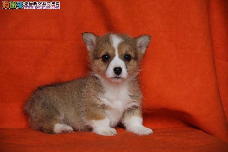 南京自家繁殖威尔士柯基犬宝宝颜色齐品相好包纯种健康