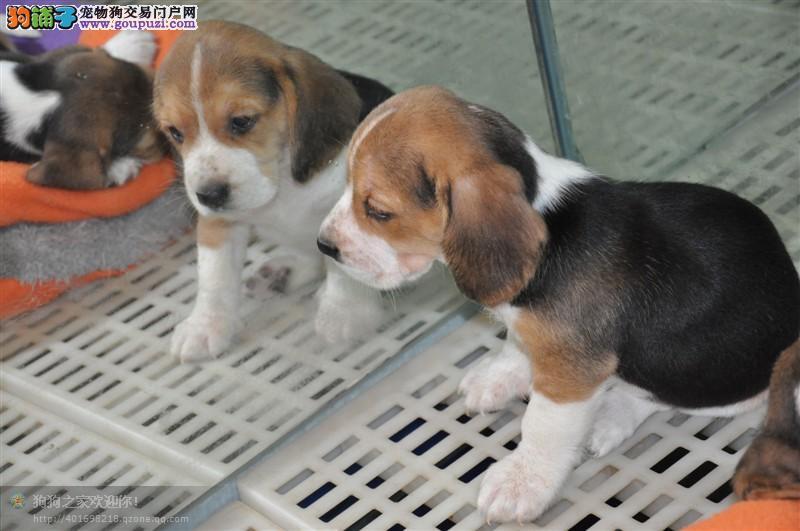 纯种犬繁殖基地专业缔造优质比格犬出售