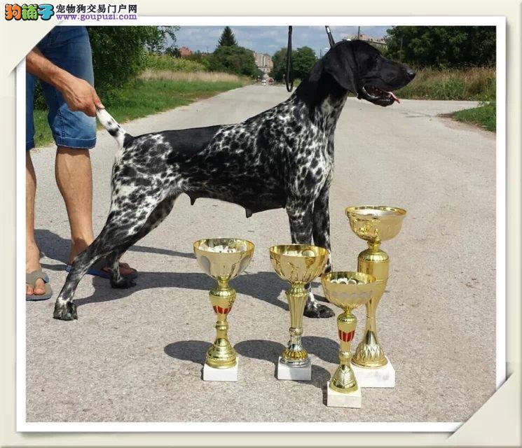 德国波音达,阿根廷杜高犬长年有售2