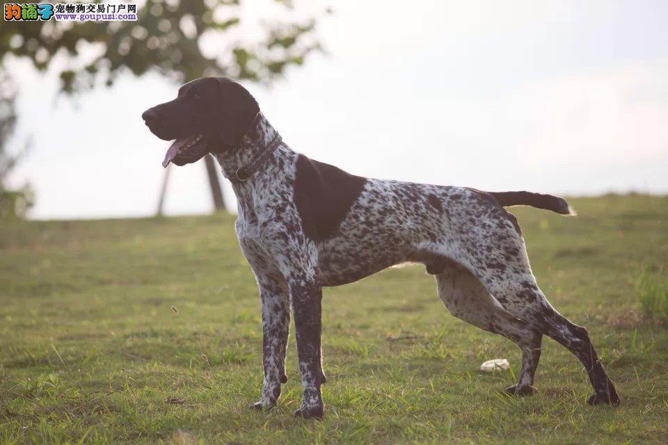 德国波音达,阿根廷杜高犬长年有售1
