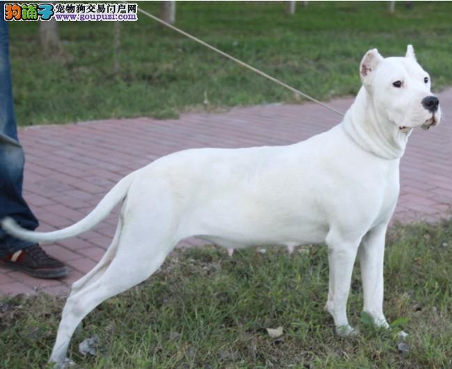 杜高犬安康CKU认证犬舍自繁自销安康市内免费送货