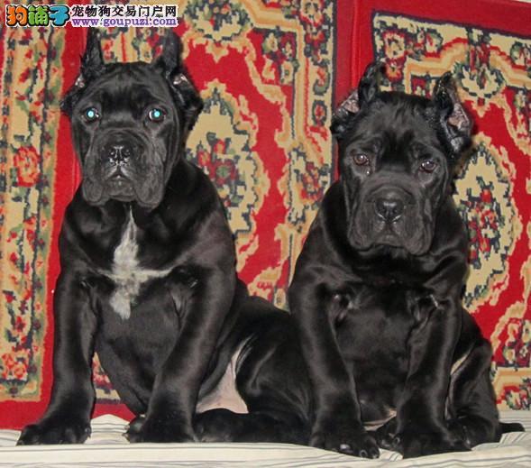 自家养殖纯种卡斯罗犬低价出售三针疫苗齐全
